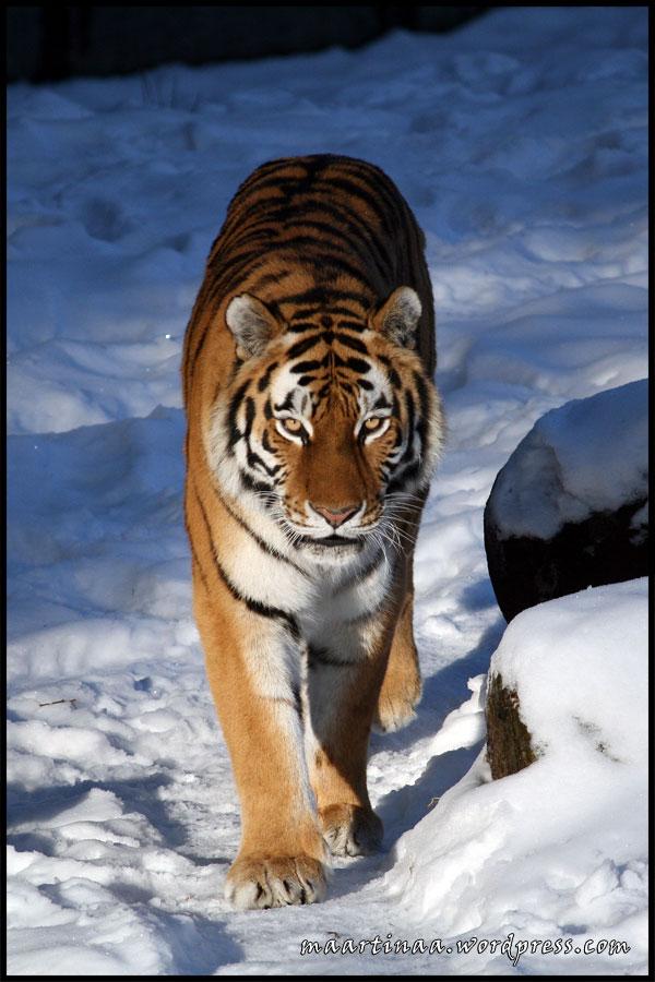 Sibirisk tiger i snö, Borås Djurpark