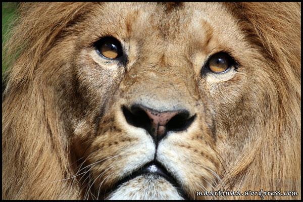 Lejon, lejonhanne, lejonhane, lion male