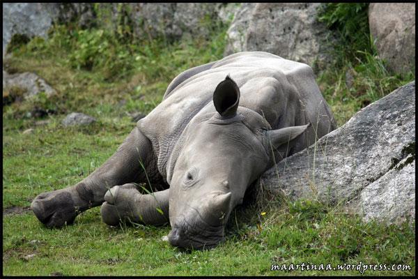 Noshörning, rhino